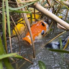 Lạ lẫm cảnh cá Koi Nhật Bản được nông dân nuôi tại ao ruộng bùn lầy ở TP.HCM