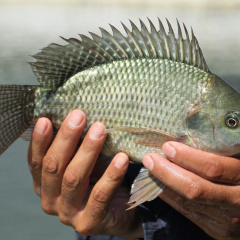 Tác dụng đa dạng của bã mía trong nuôi cá rô phi