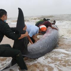 Giải cứu cá voi nặng 3 tấn mắc cạn ở Huế