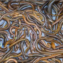 Kỹ thuật xử lý nguồn nước cho nuôi lươn không bùn