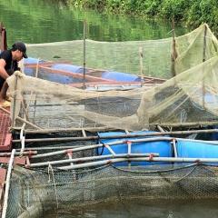 Chăm sóc và quản lý đàn cá nuôi lồng bè trên sông và hồ chứa mùa mưa lũ
