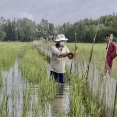 """Nuôi cá trên ruộng: Mô hình kinh tế """"thuận thiên"""" của Hậu Giang"""
