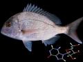 Inosine ảnh hưởng đến tăng trưởng của Cá Tráp (Pagrus major)