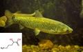 Methionine hydroxy (MHA) giúp cá kháng bệnh xuất huyết nội tạng