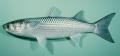 Kỹ thuật nuôi cá đối mục thương phẩm trong ao đất