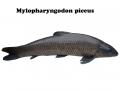 Hà Nội: Nuôi cá trắm đen (Mylopharyngodon piceus) trong lồng