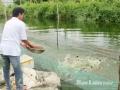 Nuôi cá bằng phế phẩm gia súc: Tăng thu nhập và xử lý chất thải