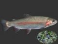 Tiềm năng bột Hương đào (Myrtus communis L.) trong thức ăn cá
