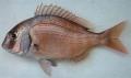 Ảnh hưởng Lactobacillus rhamnosus và Lactococcus lactis lên tăng trưởng cá