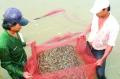 Cà Mau: Khuyến khích nuôi tôm quảng canh cải tiến bậc cao