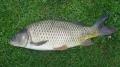 Vaccine tái tổ hợp chống lại bệnh nhiễm trùng trên cá