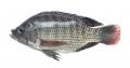 FAO cảnh báo về Virus Tilapia Lake (TiLV)