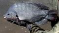 Tuổi mẹ và năng suất sinh sản của cá rô phi