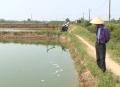 Quảng Trị: Trên 100 ha tôm nuôi bị dịch bệnh, tỉnh cạn hóa chất