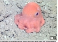 Phát hiện loài bạch tuộc màu hồng ngộ nghĩnh như đồ chơi