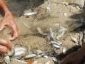 Cá đối xuất hiện dày đặc ở biển Quy Nhơn