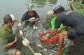 Giá cá bổi giảm thấp kỷ lục