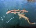 Cá sấu sát cánh cá mập bao vây thuyền câu