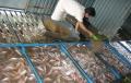 Người nuôi cá điêu hồng lỗ do tin đồn ác ý