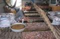 Giá tăng, nghề nuôi cá điêu hồng lồng bè hồi phục