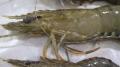 Bệnh đốm trắng gây hậu quả nặng nề cho ngành tôm ở Queensland