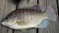 Một bước tiến lớn trong giảm vi khuẩn Strep ở cá rô phi nuôi tại trang trại