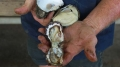 Nông dân Ninh Thuận trắng tay vì hàu bị bệnh chết hàng loạt