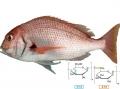 Ảnh hưởng của Beta-glucan lên tăng trưởng Cá Tráp (Pagrus major)