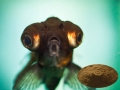 Bột Nấm mỡ (Agaricus bisporus) - phụ gia tiềm năng thủy sản