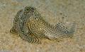 Cá bu đá - đặc sản
