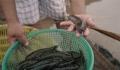 Làm giàu từ mô hình nuôi cá bống bớp