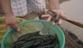 Thương hiệu cá bống bớp Nghĩa Hưng - Nam Định