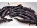 Cá bống bớp - thực phẩm bổ dưỡng của vùng đất Nghĩa Hưng