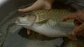 Kỹ thuật nuôi cá bỗng lồng bè trên sông