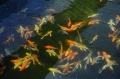 Các yếu tố quyết định thành công của sản xuất cá cảnh