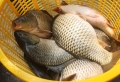 Thí điểm nuôi cá chép dai, giòn ở Quỳnh Lưu