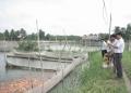Hiệu quả nghề nuôi cá chép Nhật