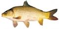 Để nuôi cá chép giống V1 đạt năng suất 2 tấn/ha
