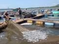 Cà Mau: 5 lần cá chết trên sông Đầm Dơi trong vòng chưa đầy 3 tháng
