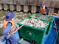 Giảm đàn cá ở kênh Nhiêu Lộc-Thị Nghè để chống cá chết