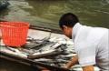Cá lồng chết ở Lăng Cô: pH trong mẫu nước cao hơn bình thường