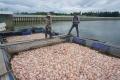 Nguyên nhân cá chết trắng hồ thủy điện ở Kon Tum