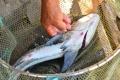 Cá chết hàng loạt trên đầm Nha Phu, Khánh Hòa