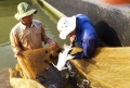 Thuần hóa cá chiên