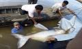 Cá da trơn khổng lồ quý hiếm trên sông Mekong
