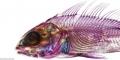 Cá đẹp lung linh nhờ tẩy trắng nhuộm màu