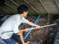 Tiền Giang : Giá cá điêu hồng nuôi bè biến động mạnh