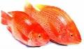 Giá cá giảm sâu, người nuôi điêu đứng