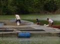 Hiệu quả bước đầu của mô hình nuôi cá diêu hồng trong lồng