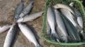 Hà Tĩnh: Lợi ích từ 'nuôi đa dạng hóa thủy sản'
